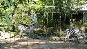after zebra
