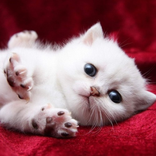 18 Adorable kitty cat wallpapers