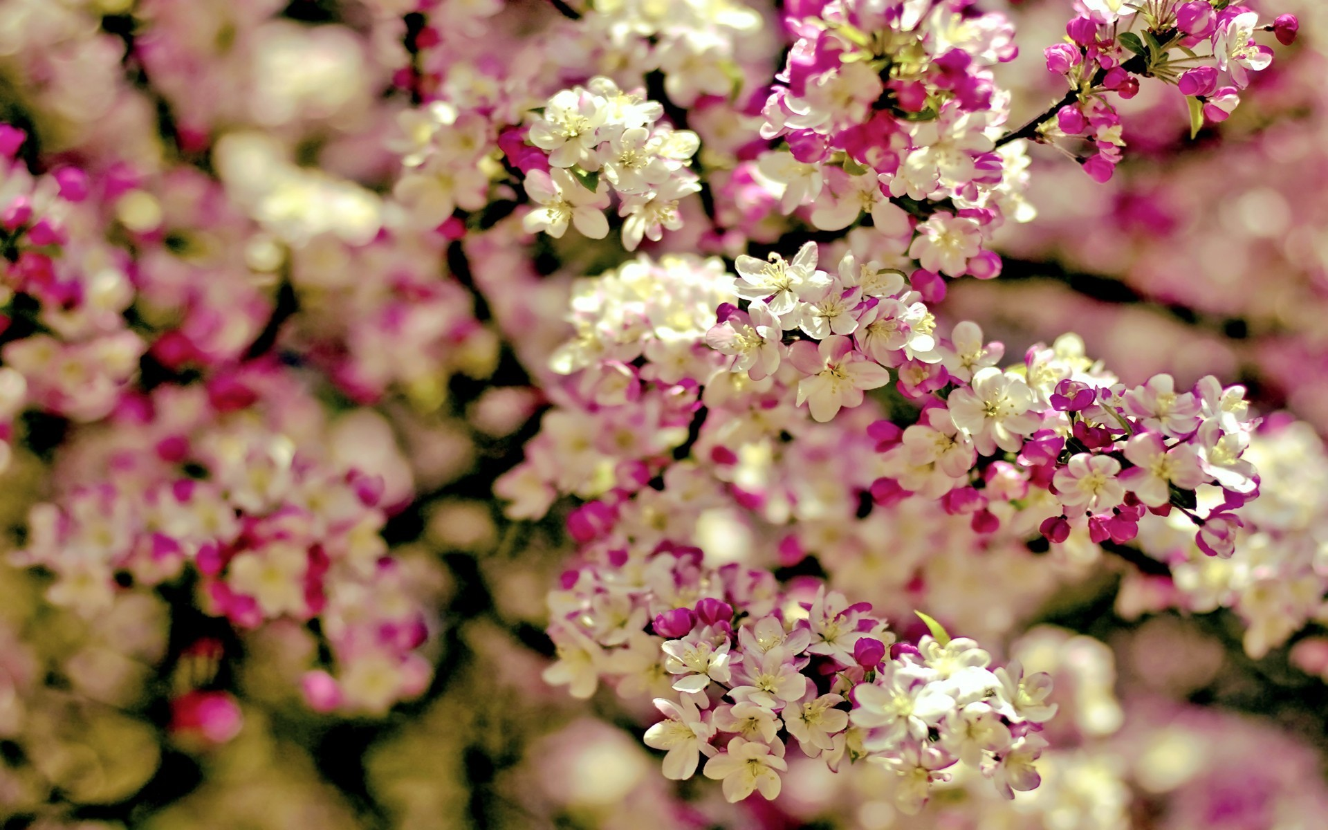 awesome-spring-flowers-full-hd-wallpaper-for-desktop-background-image-free-download