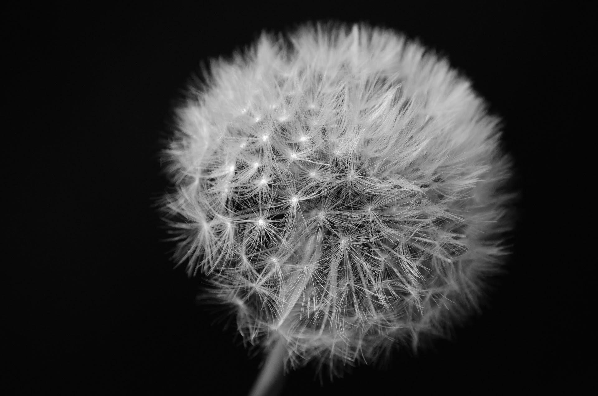 dandelion-on-black-background
