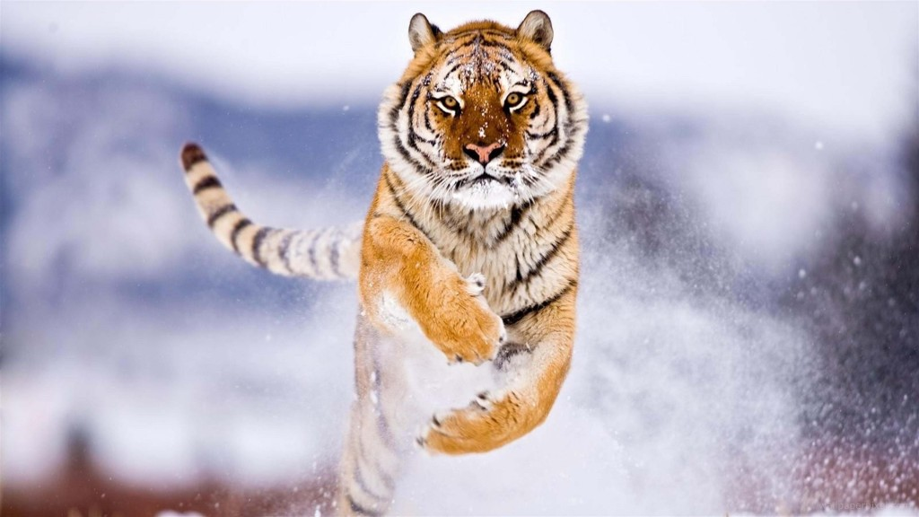 Siberian-Tiger-Jumping
