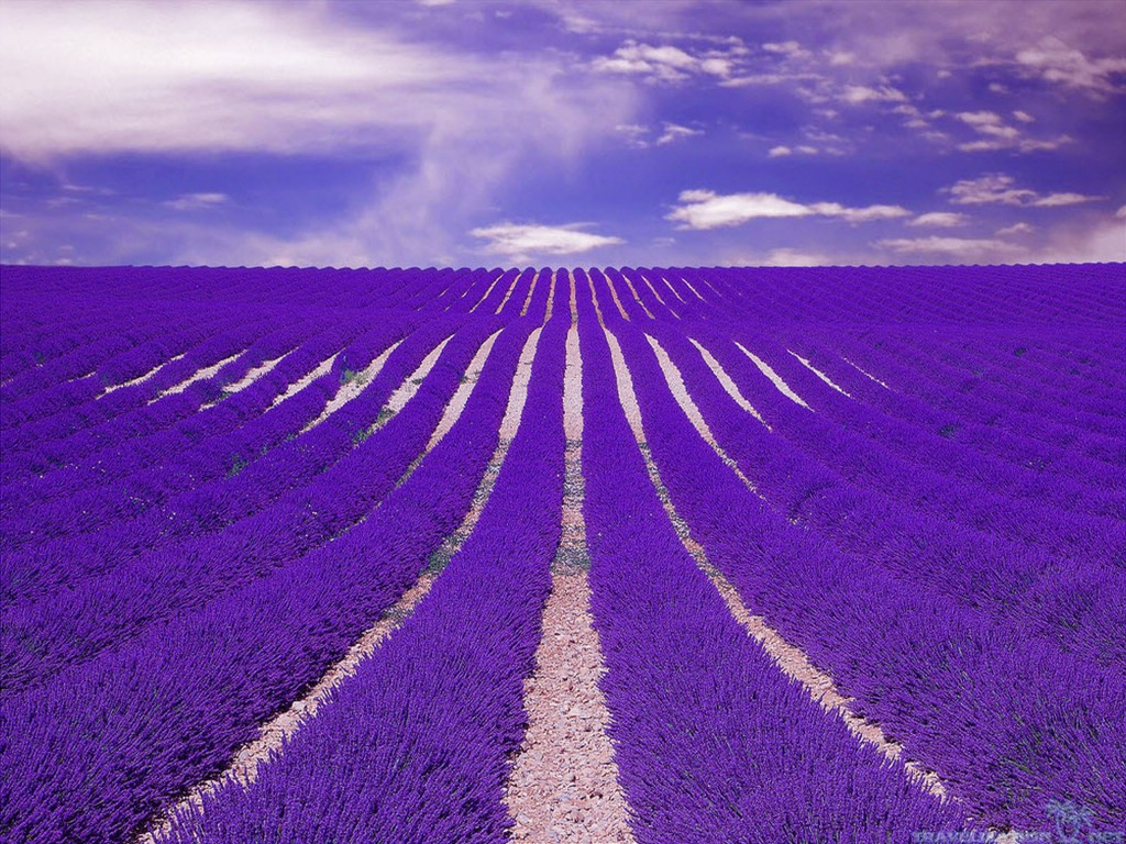 amazing-lavender-field-wallpapers-2560x1920