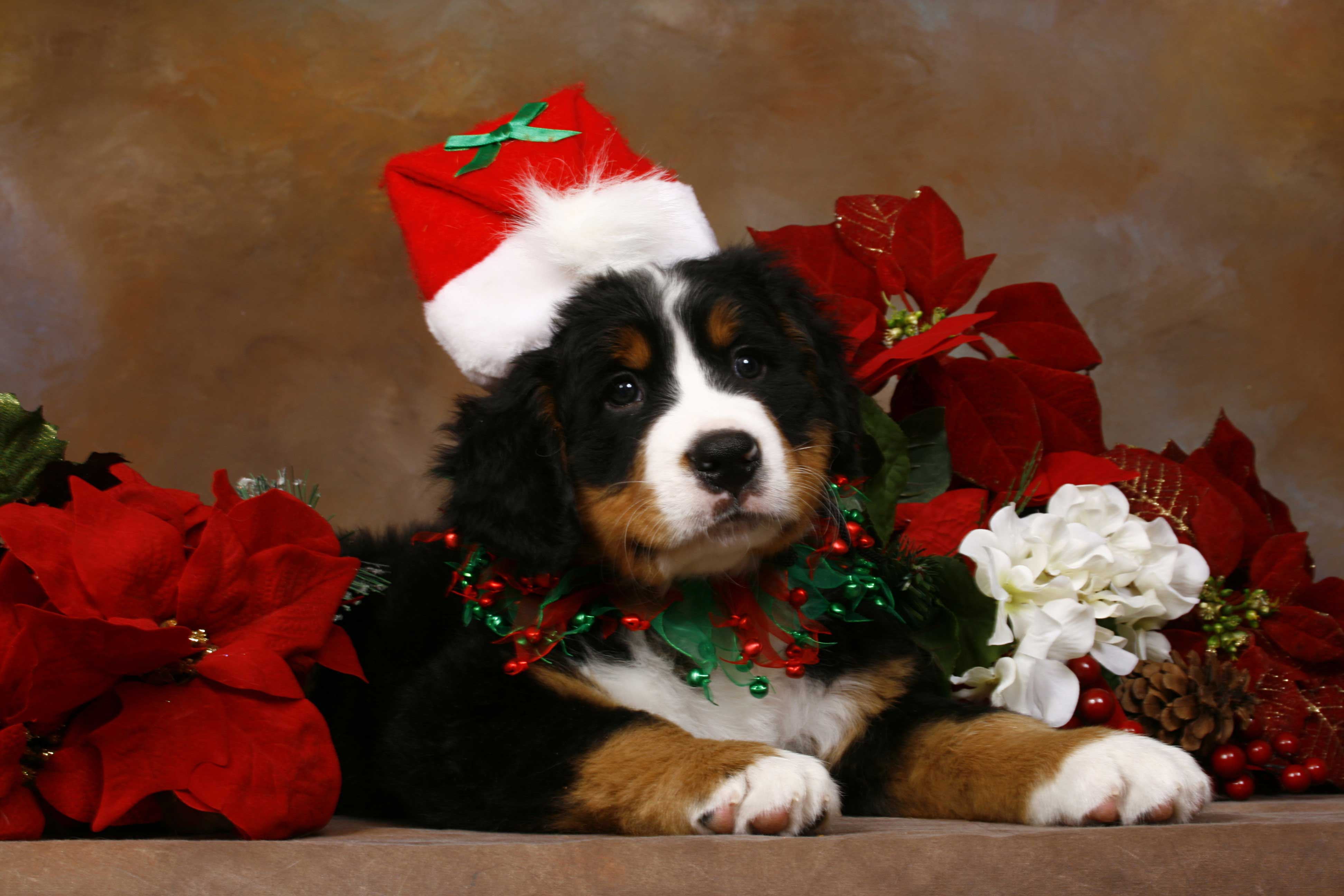 related-for-cute-christmas-puppies-make-christmas-full-of-love