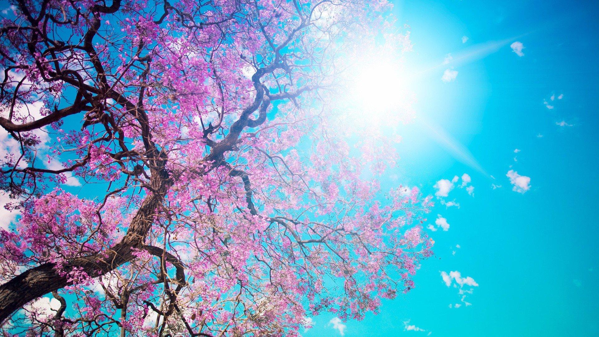 cherry-blossom-tree-wallpaper-gallery-nsur18