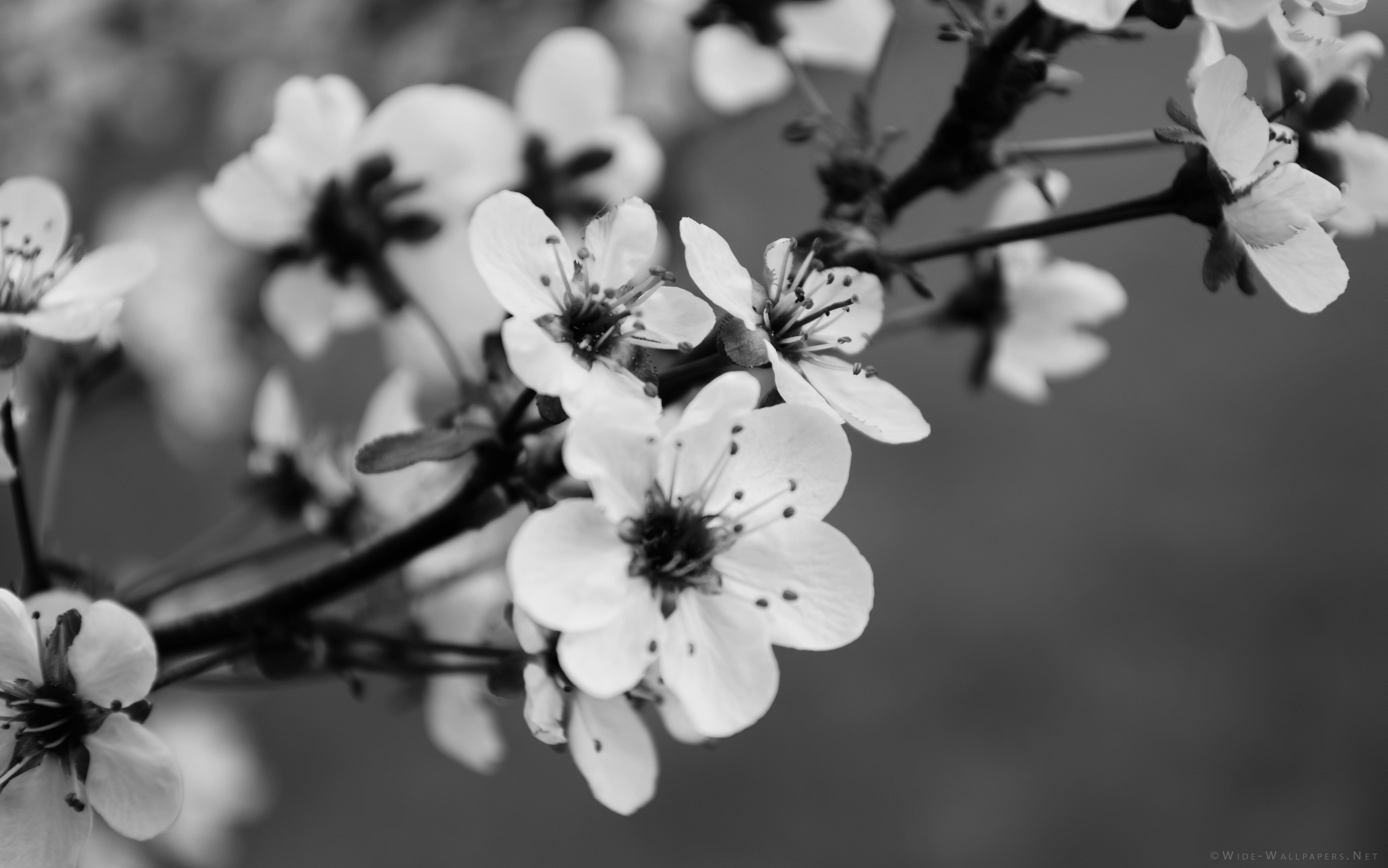 wallpaper-black-and-white-flowers-images-gallery