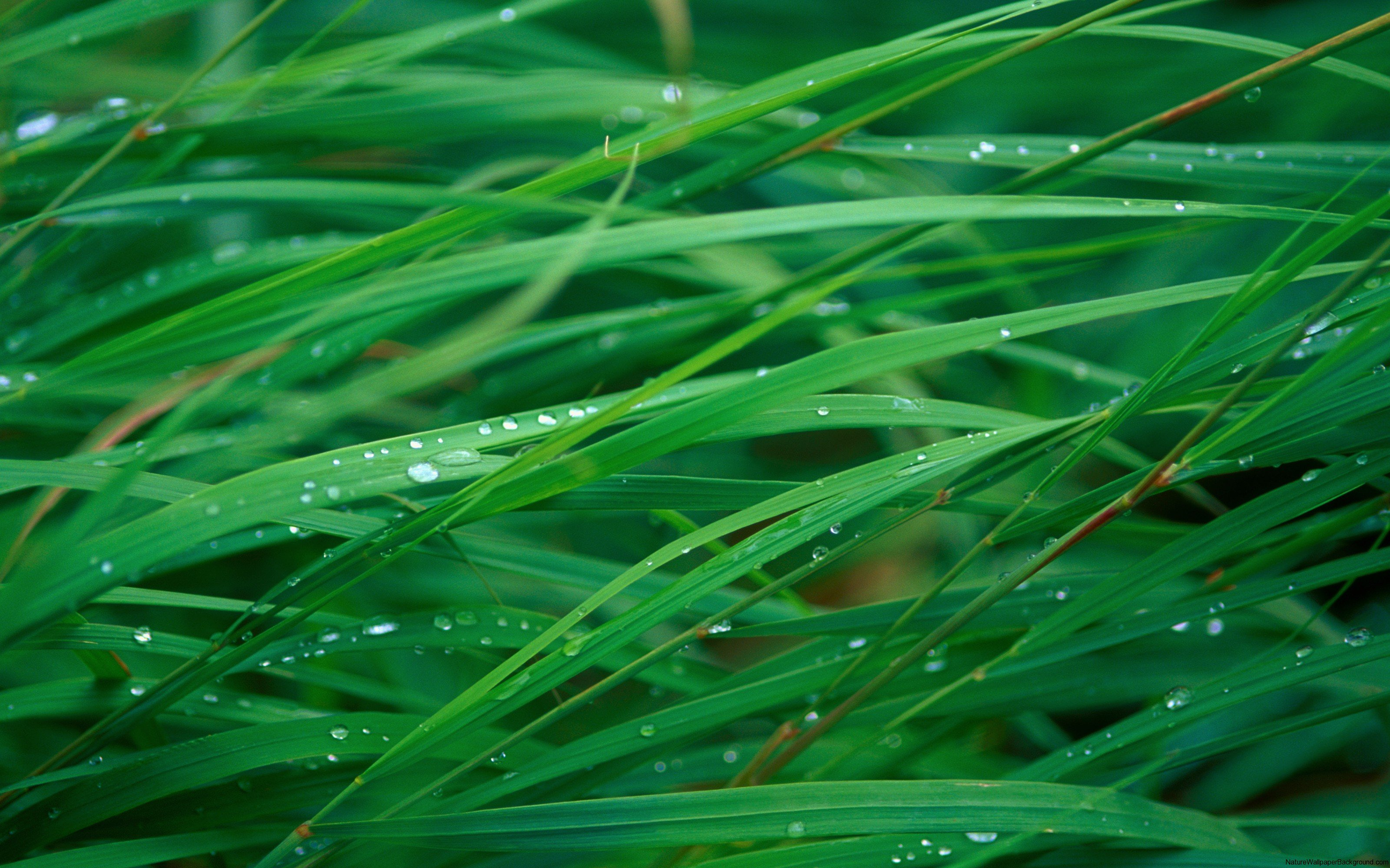 Up-close-blades-of-grass-with-water-droplets-wallpaper