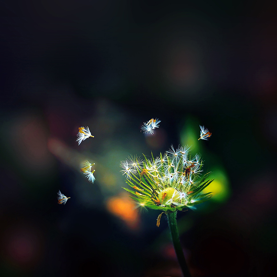 ma99-blow-dandelion-flower-nature-android-large