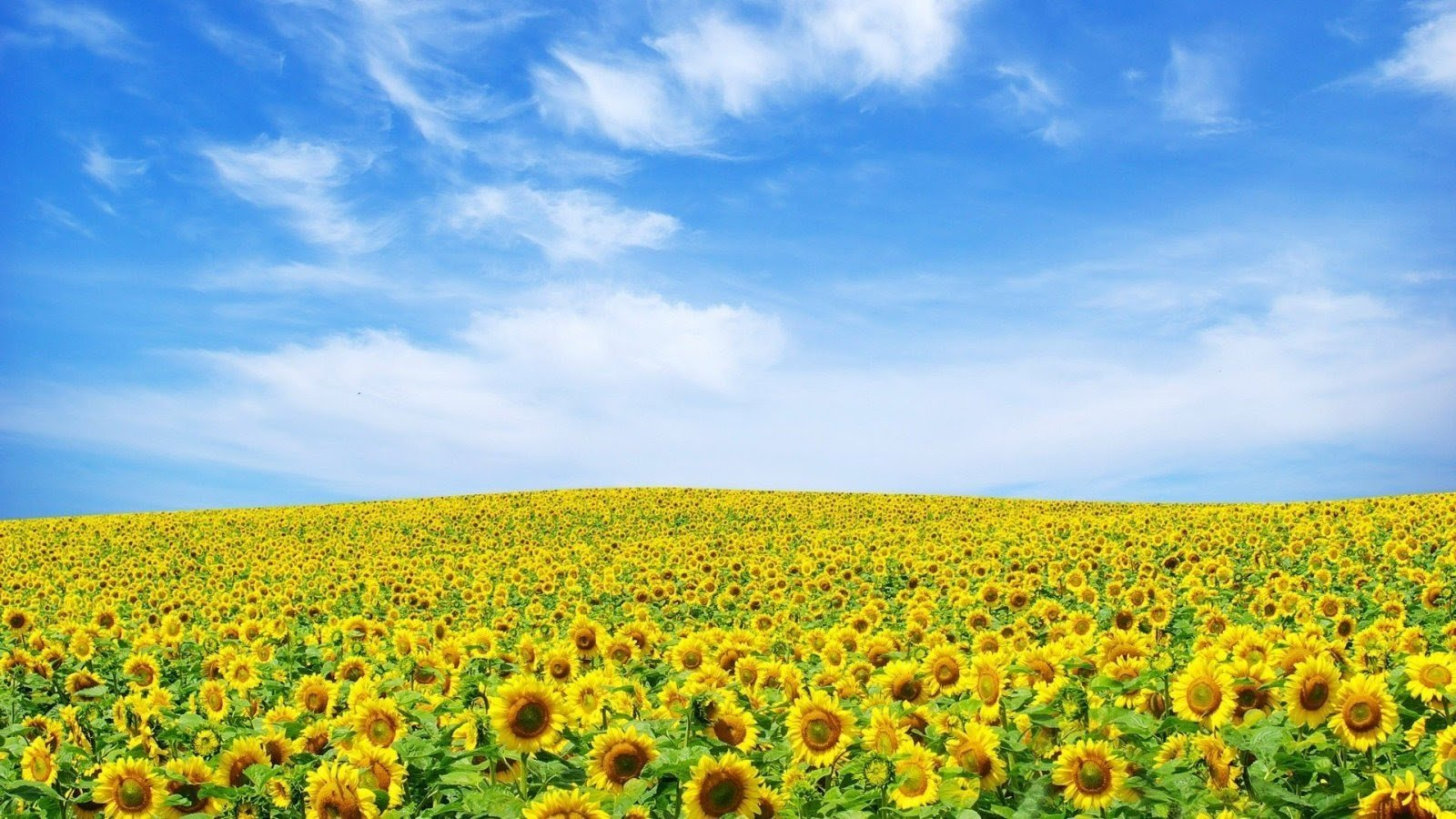 yellow-flower-wallpaper-13