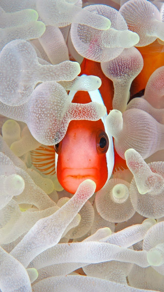 Red and black anemonefish in bleaching anemone in the Lembeh Strait of North Sulawesi, Indonesia (© Jeff Yonover/Tandem Stock)